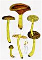 Bresadola - Cortinarius cinnamomeus.png