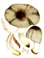 Bresadola - Psalliota silvativa.png