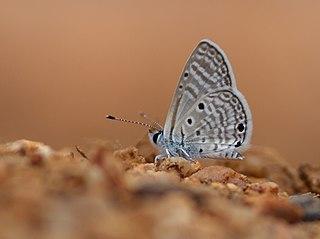 <i>Azanus ubaldus</i> species of insect