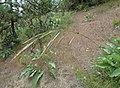Bromus carinatus.jpg