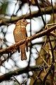 Brown-breasted Flycatcher (Muscicapa muttui) മുത്തുപിള്ള. (32186766374).jpg