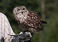 Bubo africanus Spotted Eagle-Owl Pfänder.jpg