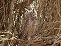 Bubo capensis, Sossusvlei 1.jpg