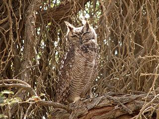 Cape eagle-owl Species of owl