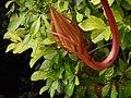 Bud of a brahma kamal (Epiphyllum oxypetalum) flower.jpg