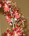 Budapest Orchid Exhibition 2006 30.JPG