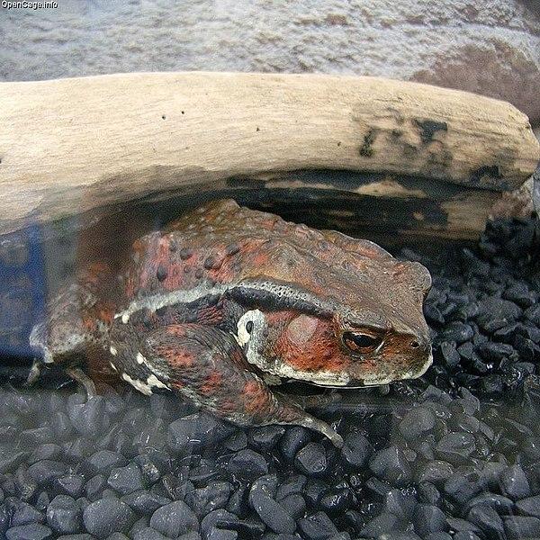 画像:Bufo japonicus formosus.jpg