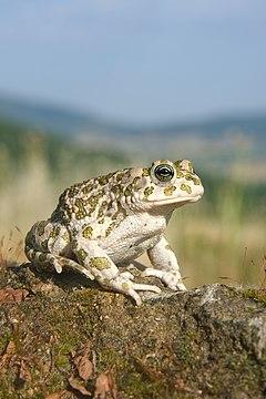 240px bufotes balearicus female