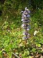 Bugle Flower - geograph.org.uk - 803586.jpg