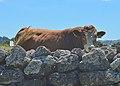 Bull (25143291702).jpg