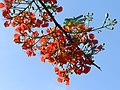 Bunch of flowers of Gulmohar.jpg