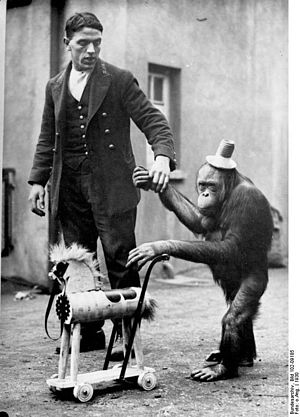 Animal training - Morphy, an Orangutan with his toy, a horse, on a walk with his keeper in a traveling circus.