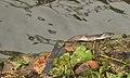 Bungarus caeruleus (Alappuzha, Kerala).jpg
