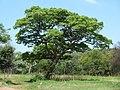 Burkea africana, Seringveld.jpg