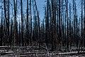 Burnt Pine Trees PLT-TR-FT-12.jpg