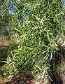 Bursaria foliage.jpg