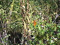 Butterfly 7 at St Marks NWR.JPG