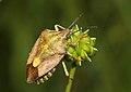 C-pudicus-c-purpureipennis.jpg