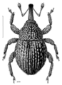 COLE Curculionidae Phronira simplex.png