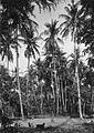 COLLECTIE TROPENMUSEUM Kokospalmen bij Pasoeroean (Kedoenglo) Oost-Java TMnr 60020253.jpg