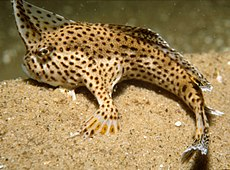 CSIRO ScienceImage 10 The Endangered Spotted Handfish.jpg