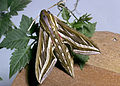 CSIRO ScienceImage 2664 Grapevine hawk moth.jpg