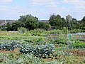 Cabbages and brussels at Yarwell - August 2013 - panoramio.jpg