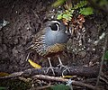 California Quail (Callipepla californica) (4813500499).jpg