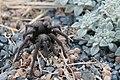 California ebony tarantula.jpg