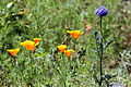 California poppy in San Francisco 3.JPG