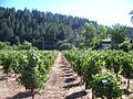Calistoga vineyards.jpg