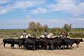 Camargue Tri taureaux dans manade.jpg