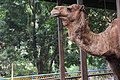 Camel in the cage 3.jpg