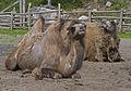 Camels (5390091761).jpg