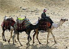 Три верблюдов в линии: человек едет на передний верблюде.