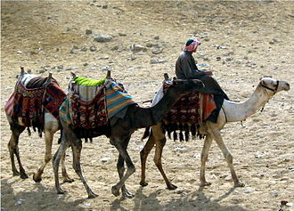 Camel -  Domesticated camels at the Pyramids of Giza, Egypt