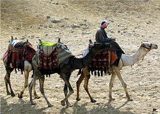 Camel - Caravan of dromedaries, Giza pyramid complex, Egypt