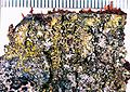 Candelariella efflorescens.jpg