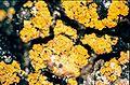 Candelariella vitellina-4.jpg