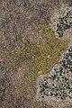 Candelariella vitellina 122241014.jpg