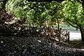 Canopied lane of laurels, Nuthurst, West Sussex, England 4.jpg