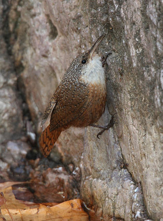 Wren - Canyon wren (Catherpes mexicanus)