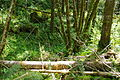 Canyon down to Tualatin River along logging road to Ki-a-Kuts Falls - Oregon.JPG
