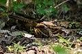 Caprimulgus macrurus, Large-tailed nightjar - Kaeng Krachan National Park (41471790782).jpg