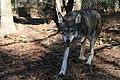 Captive Male at Sandy Ridge, ARNWR (6260508953).jpg