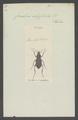 Carabus - Print - Iconographia Zoologica - Special Collections University of Amsterdam - UBAINV0274 009 06 0024.tif