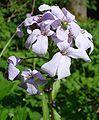 Cardamine bulbifera W.jpg