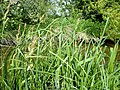 Carex acutiformis plant (08).jpg
