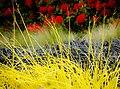 Carex elata 'Aurea' (04).jpg