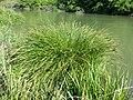 Carex paniculata sl1.jpg